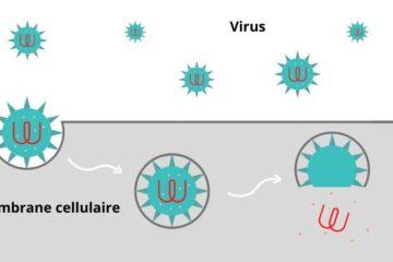 Cellule Coronavirus